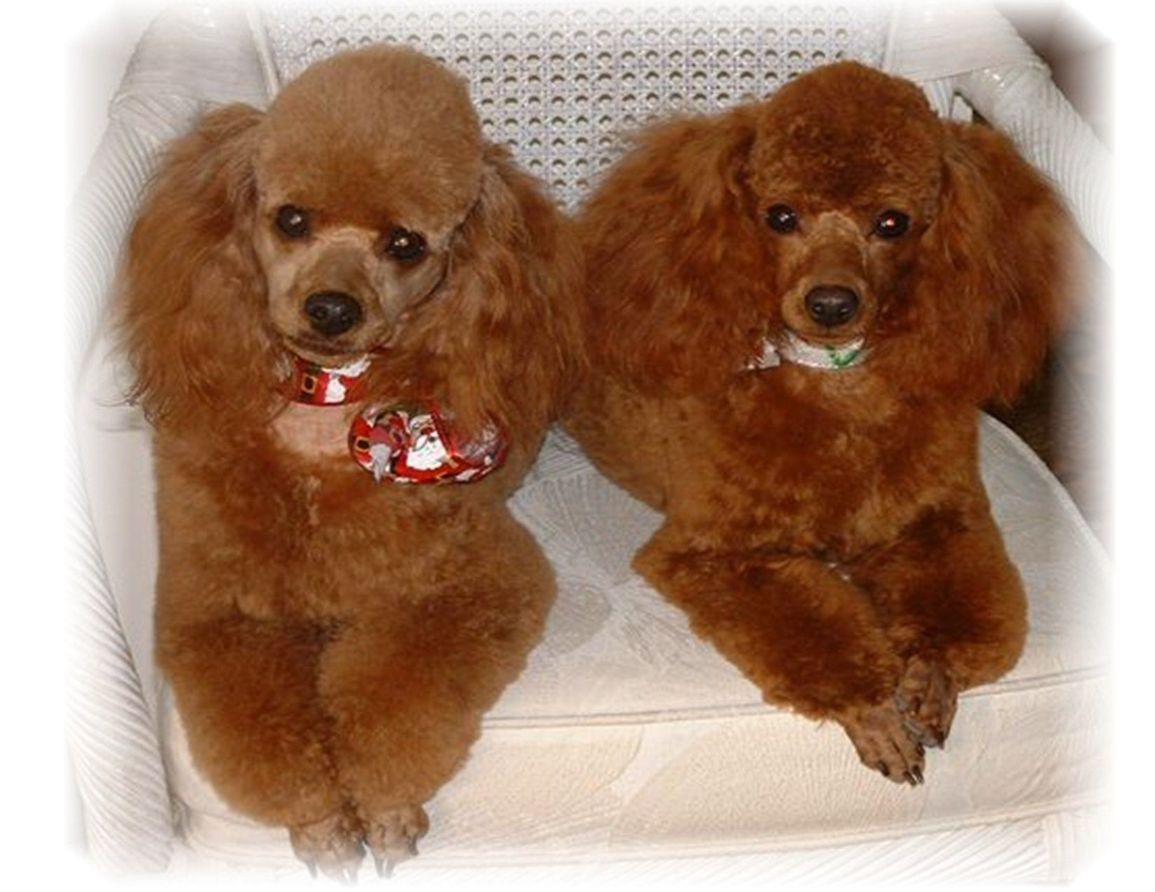 Toy Poodles For Sale Red Apricot Brown Black Miniature