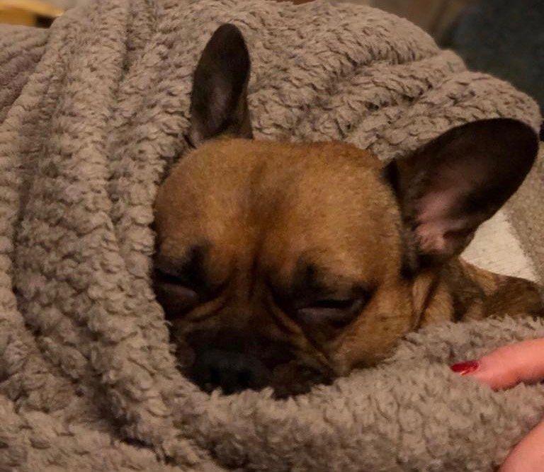 My Baby All Snuggled Up Mybaby Sleepygirl Sleepypuppy Snuggles Snuggletime Saturdays Frenchie Frenchies Fren Sleepy Girl Snuggles Puppies