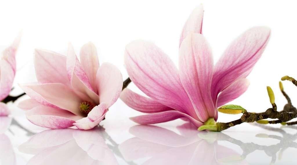 Flowers Used In Chinese Herbal Medicine Magnolia Flower Flower Essences Magnolia Blossom