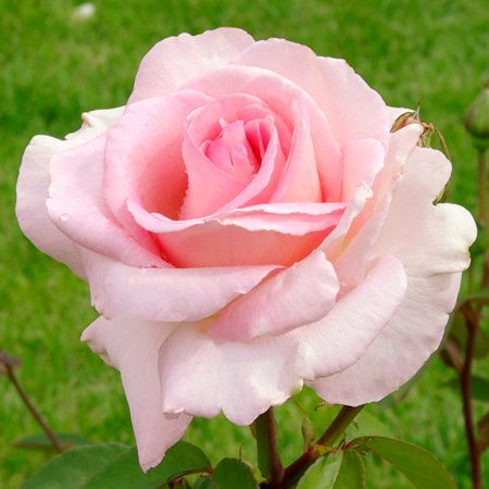 French rose Delbard Grand Siècle®