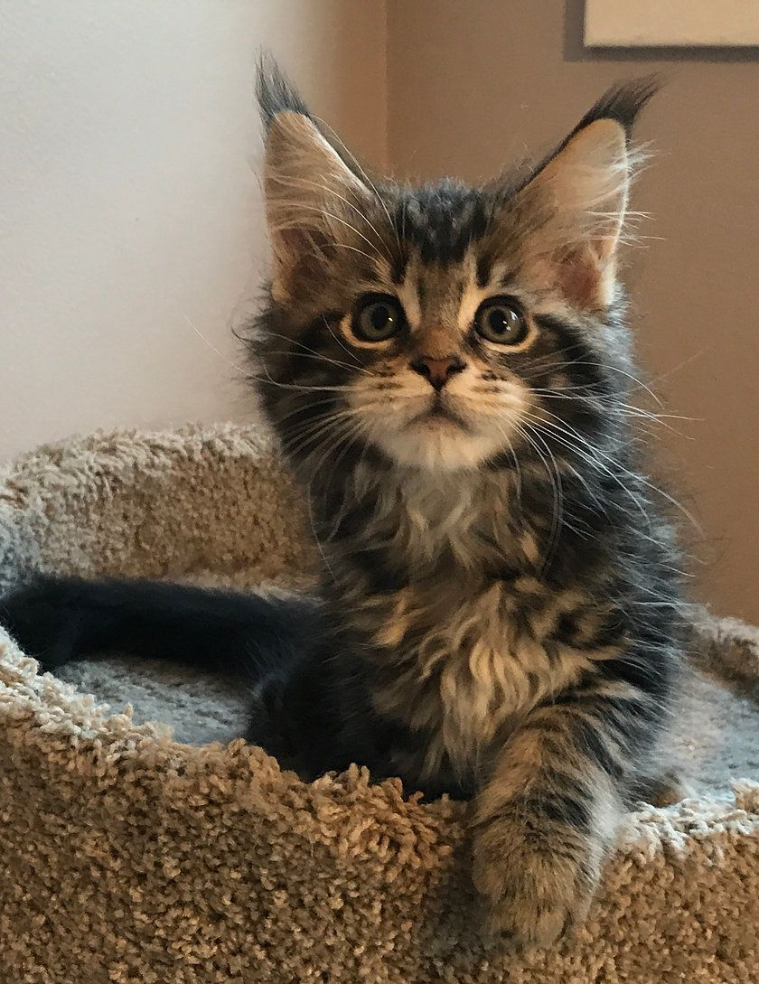 Pin On Maine Coon Cat Breed S Facts