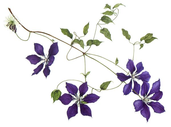 Pin By Elettaria On Japanese Flower Project Botanical Flowers Plant Drawing Clematis Flower