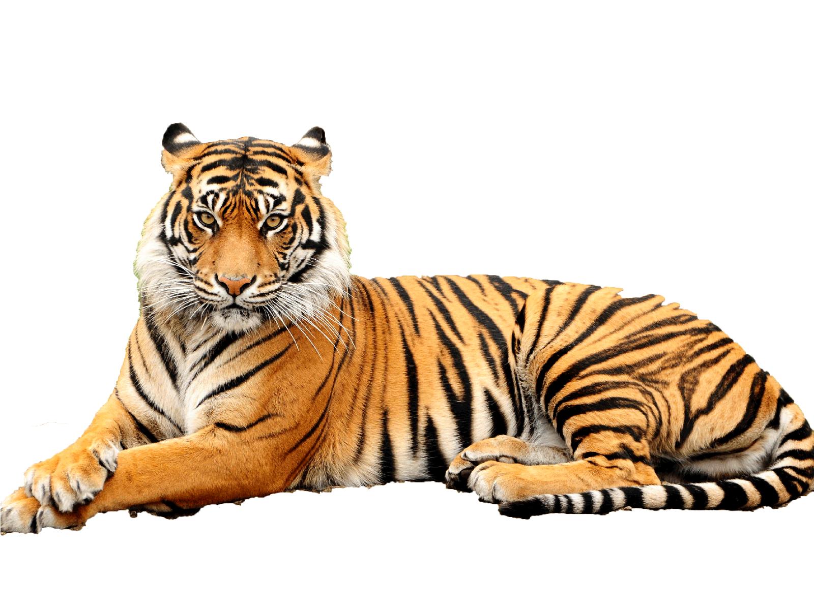 Image Result For Tiger Png Tiger Images Tiger Drawing Tiger