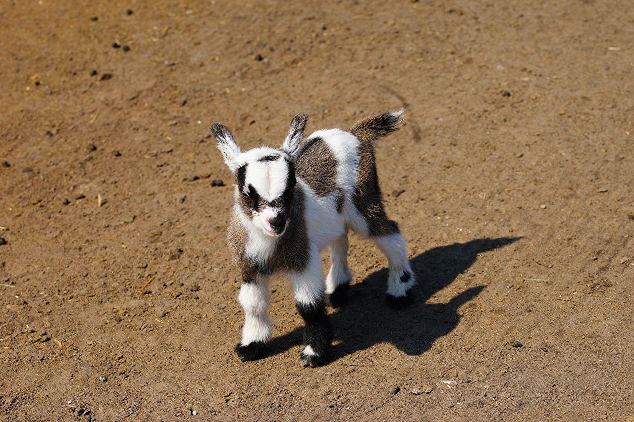 Fotos Hausziege Ziegen Babys Schatten Starren Ein Tier Susse