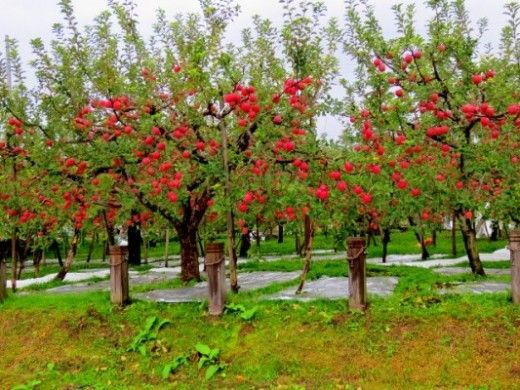 How To Grow Fuji Apple Trees Apple Tree Gardening Apple Tree Tree