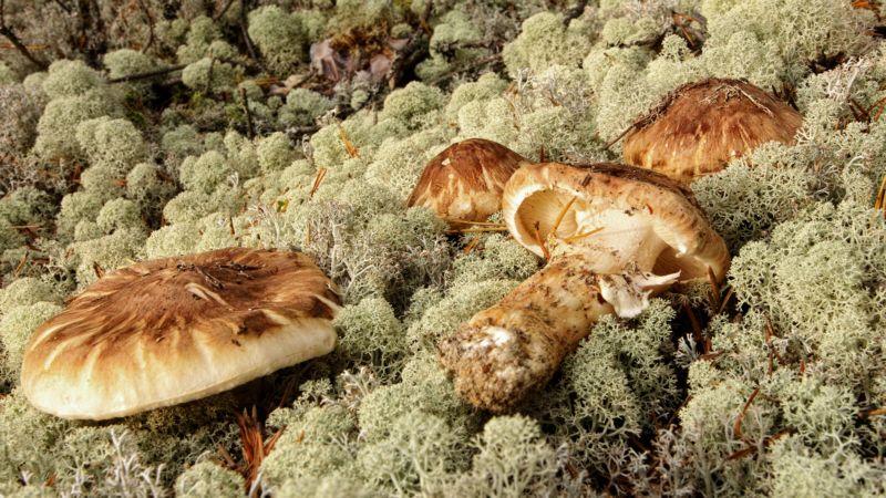 Sieniretkellä | POLKU.net > Männyntuoksuvalmuska, Tricholoma matsutake