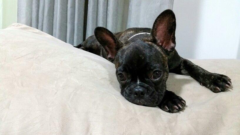 Frenchie Bulldogue Buma