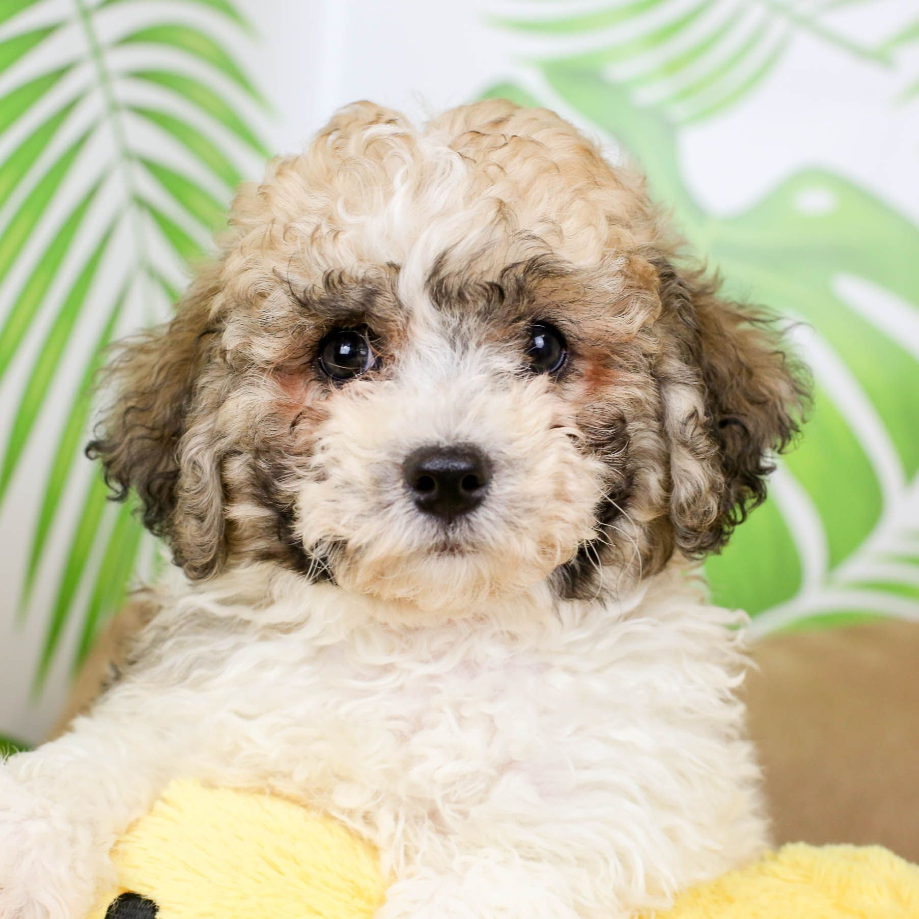 Poochon Puppies Are Beautiful Combos Of Poodles And Bichon Frises