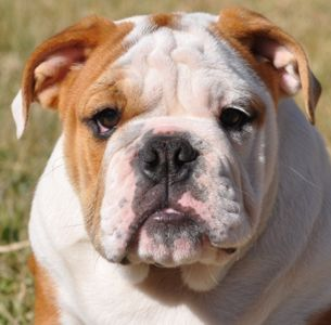 We Re Currently Having Our Bulldog Sale Going On In Aeropastle