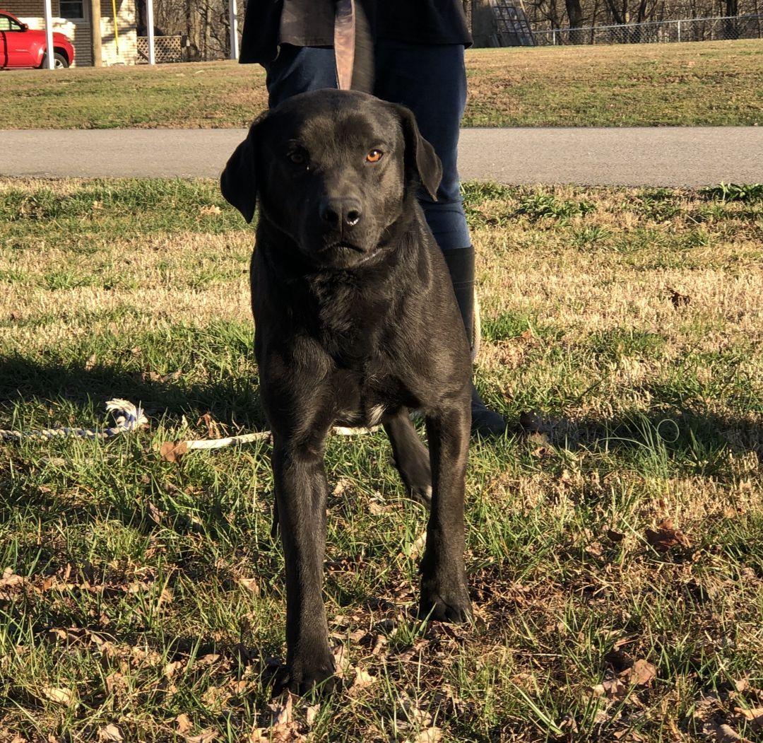 Adopt Aries On Labrador Retriever Animal Rescue Labrador