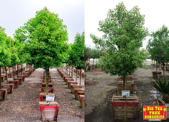 Camphor Tree For Sale Always Green Trees Fast Growing Shade Trees Fast Growing Trees Fast Growing Trees Texas