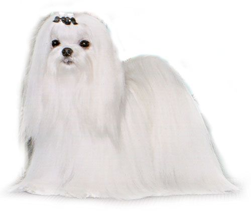 Bonnie Palmer Angel Maltese Is A Breeder Of Best In Show Best Of
