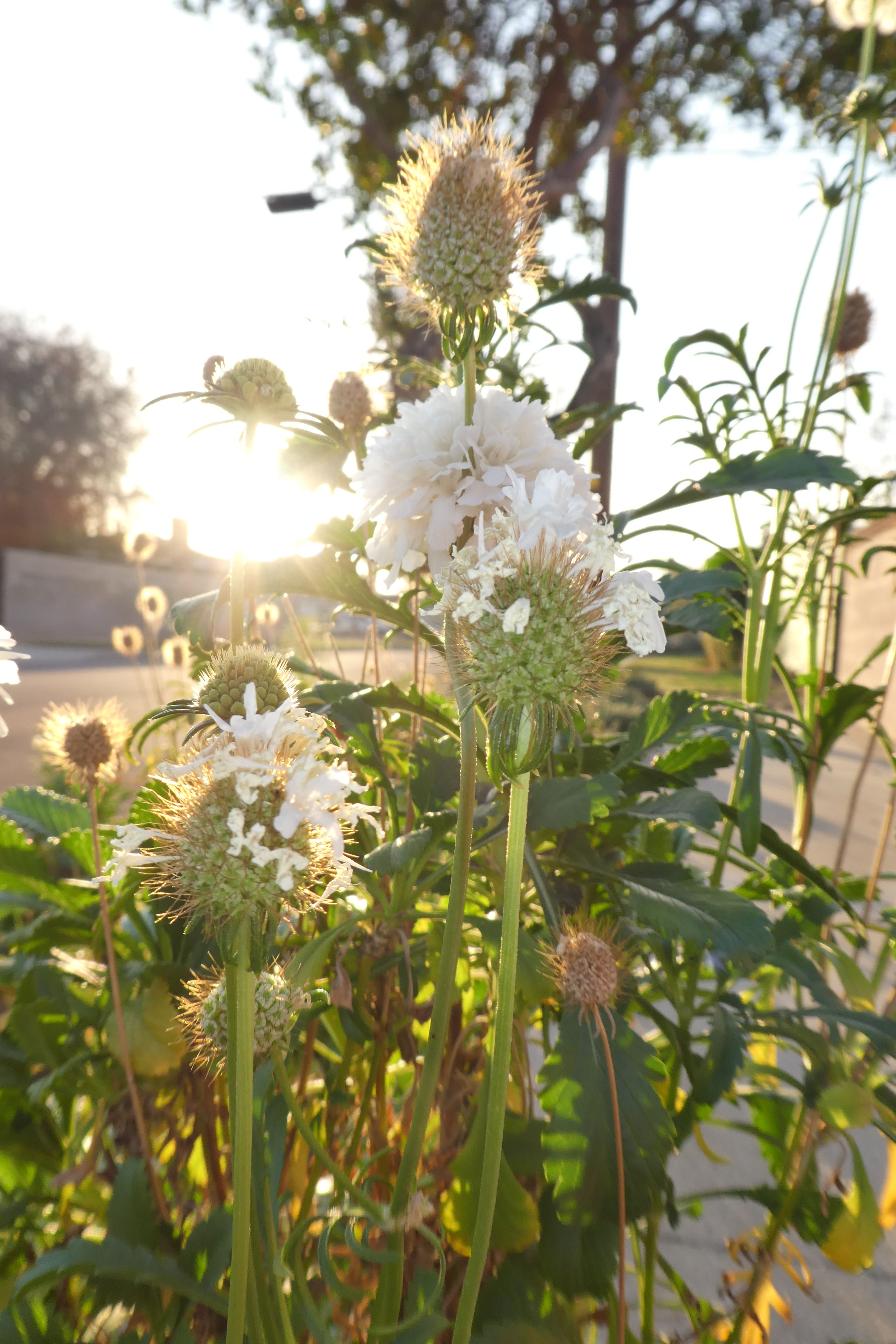 White Pincushion Flowers Along The Parkway At Sunset In My Garden
