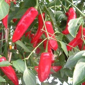 Serenade Chilli | My Garden | Stuffed peppers, Vegetables, Food