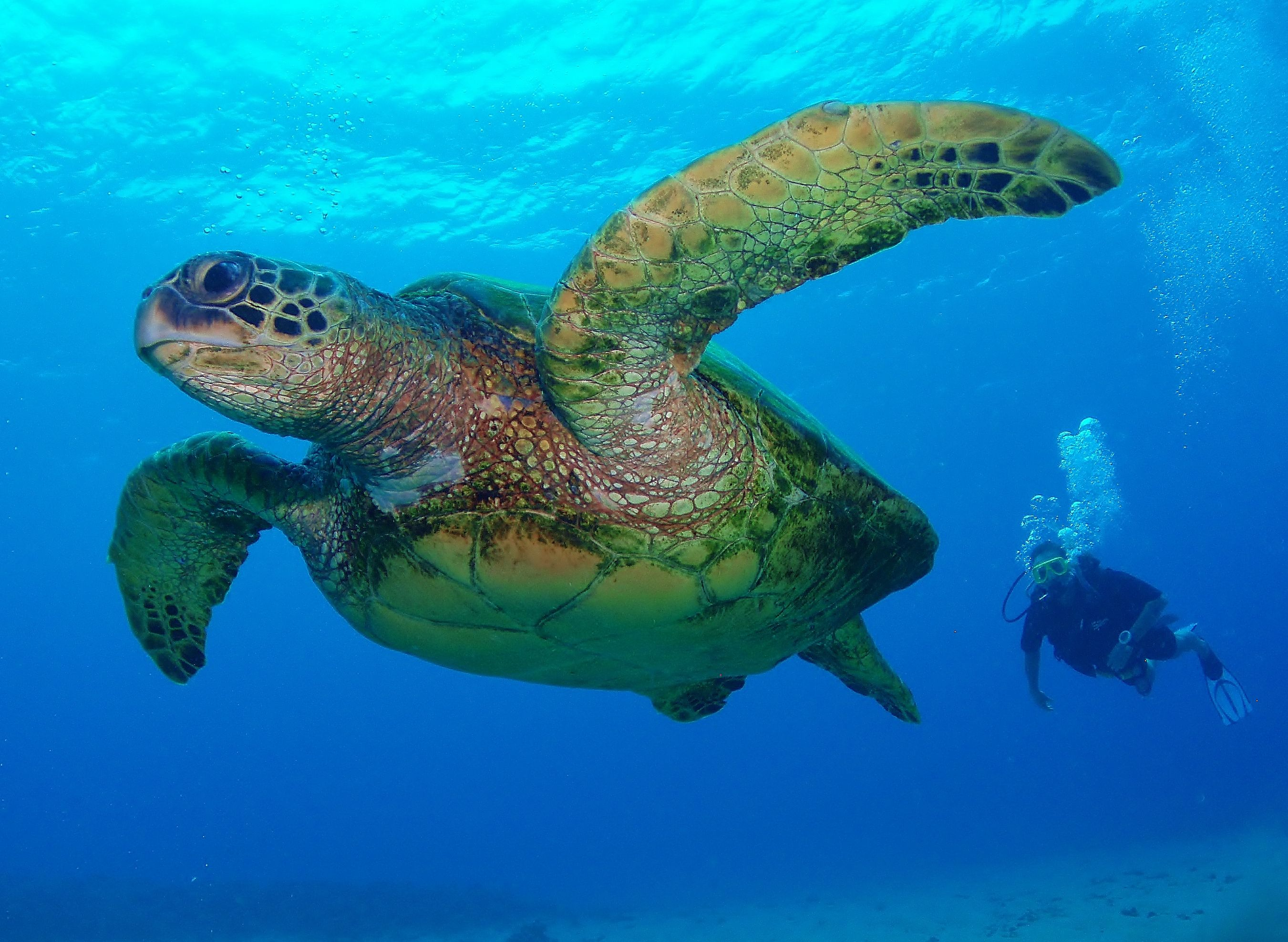 Green Sea Turtles Are An Endangered Species With