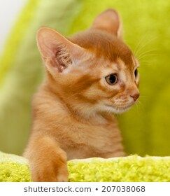 little Abyssinian kitten #abyssinian, #animal, #baby, #beautiful, #beauty, #carnivore, #cat, #closeup, #curiosity, #cute, #domestic, #down, #ear, #egyptian, #expression, #eye, #fawn, #feline, #front, #fur, #hair, #head, #indoors, #interior, #kitten, #life, #looking, #lying, #mammal, #nature, #one, #pets, #portrait, #purebred, #short, #small, #softness, #whisker, #young