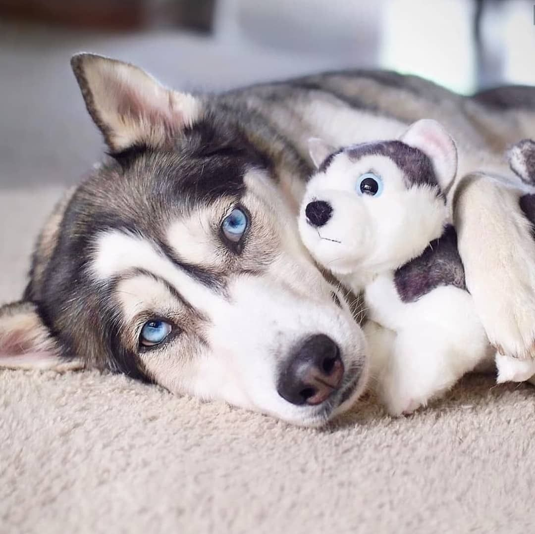 Source Instagram Com Huskies Corner Weve All Got That Toy That