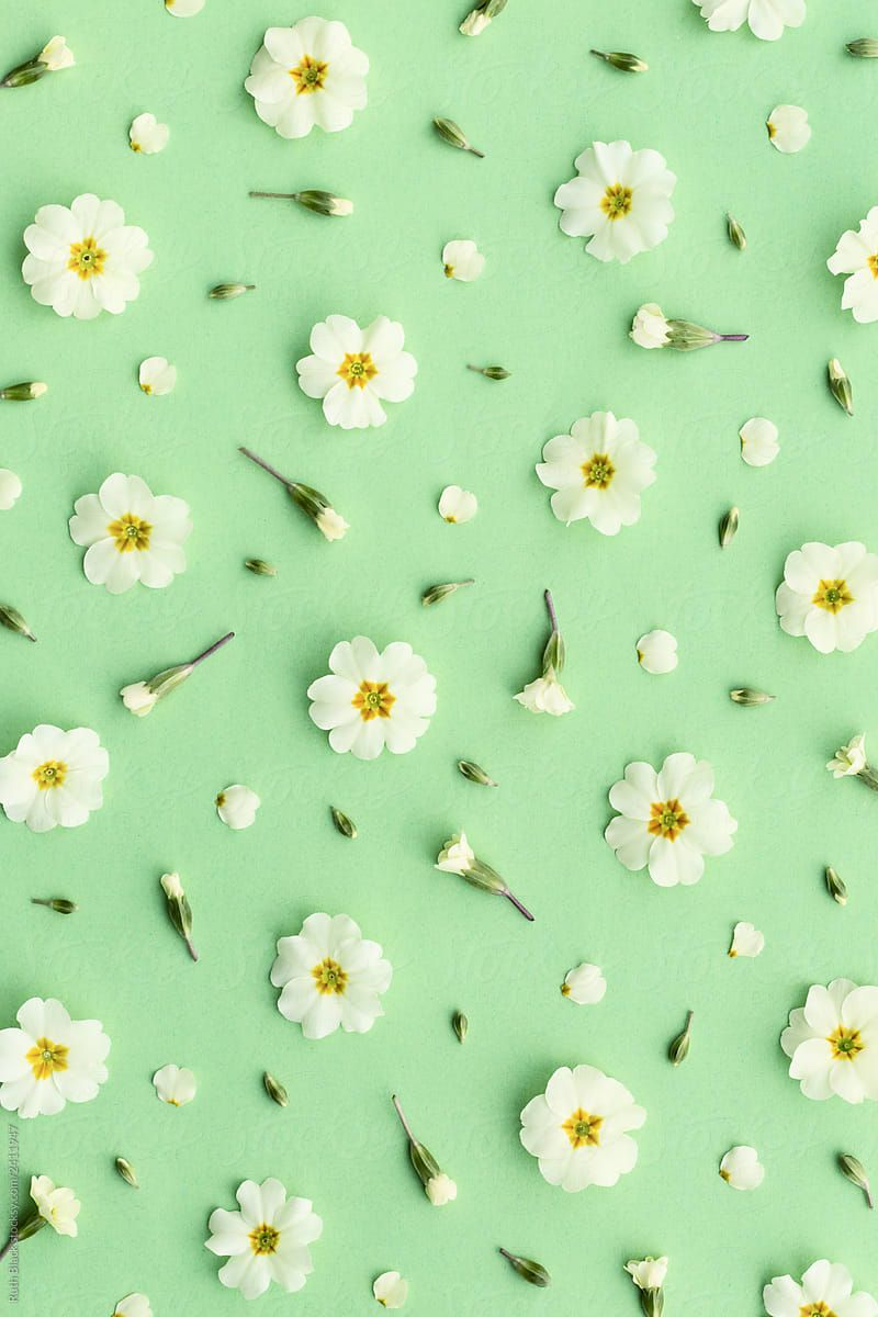 Primrose Background On Green By Ruth Black For Stocksy United Iphone Wallpaper Landscape Flower Phone Wallpaper Flower Background Wallpaper