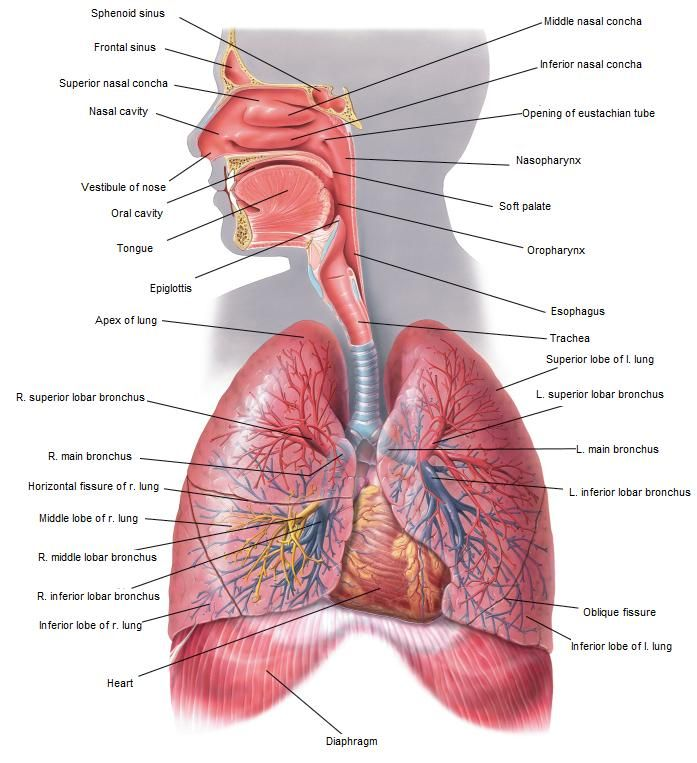 Respiratory System Diagram | Respiratory System | Othaa things ...