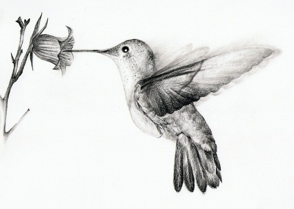 pencil+drawings+of+hummingbirds | Pencil Drawings Of ...