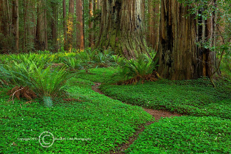 Stout Grove in Redwood National Park,  by David M. Cobb