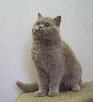 British Shorthair And Scottish Fold Kittens For Sale Britisch Kurzhaar Katzen Bkh
