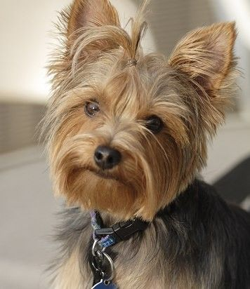 Typical Yorkie Face Trim With Top Knot Chester Pinterest