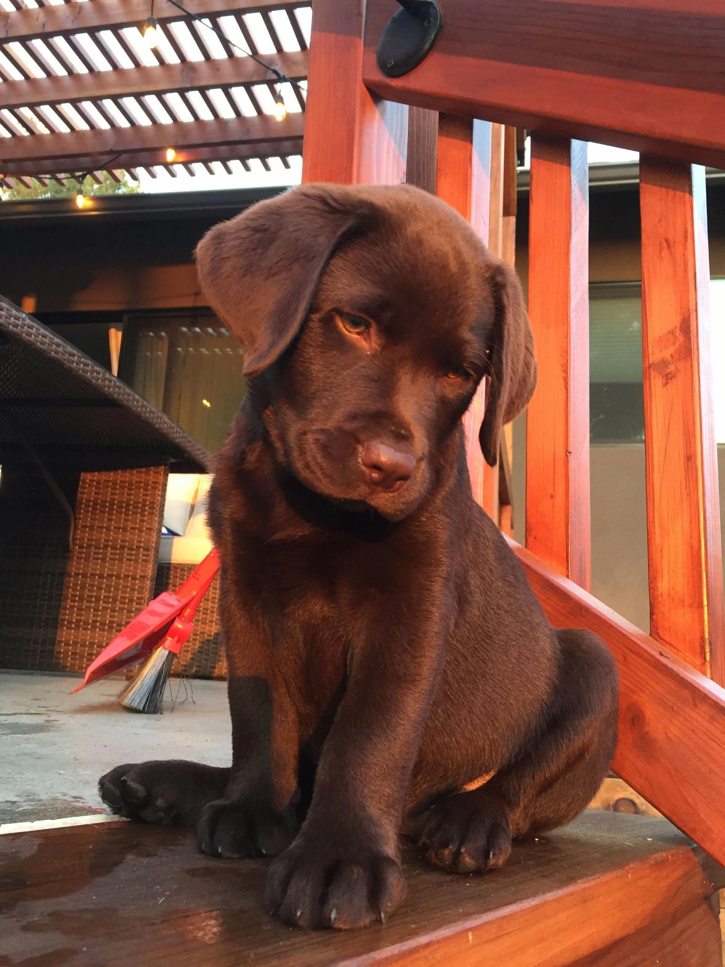 Fantastic Chocolate Labrador Detail Is Readily Available On Our