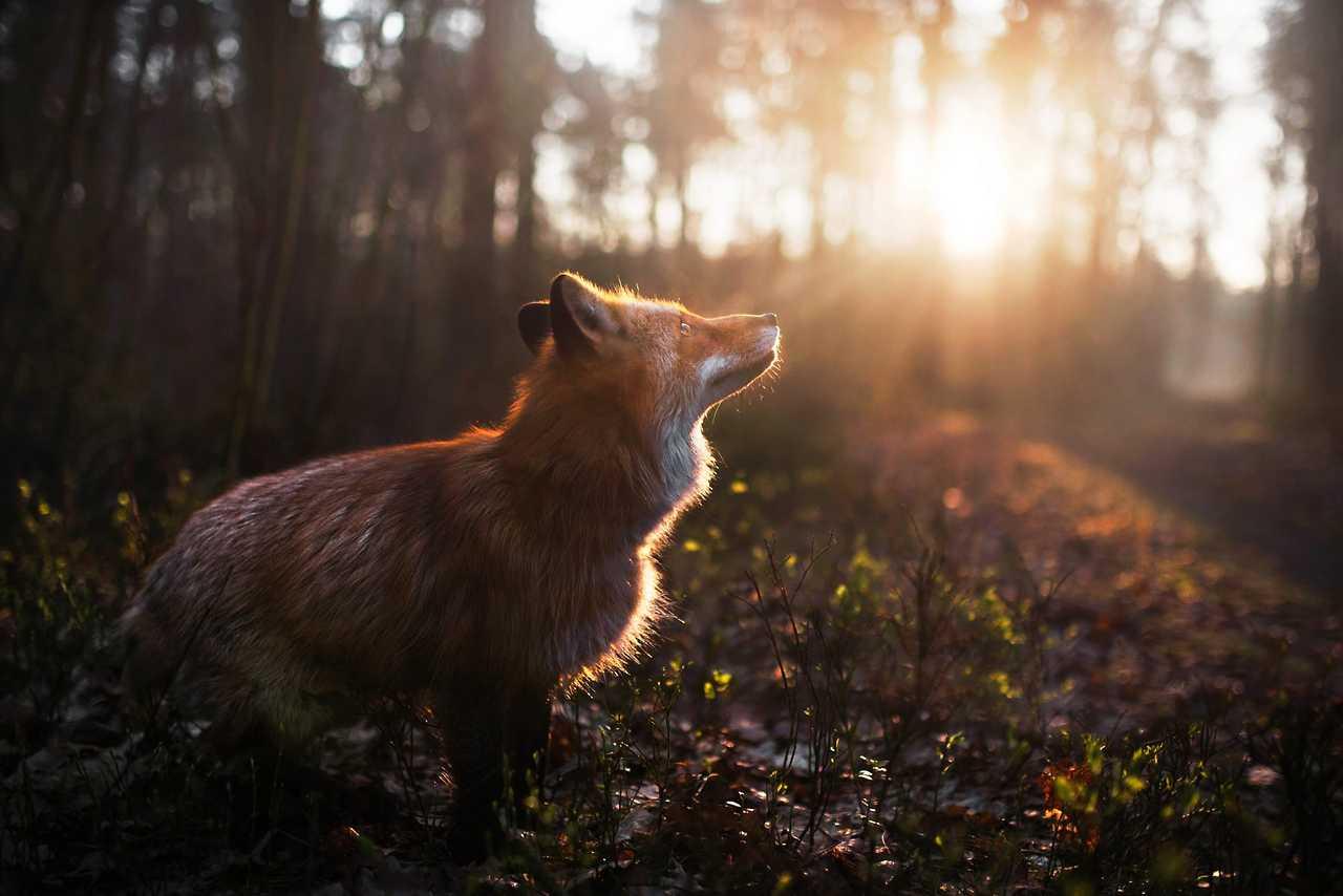 """everythingfox """" Forest Shine Photo by Iza Łysoń"""