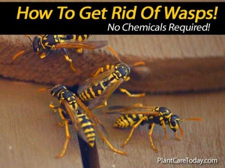 get rid of wasps naturally 10 ways for control details things i like. Black Bedroom Furniture Sets. Home Design Ideas