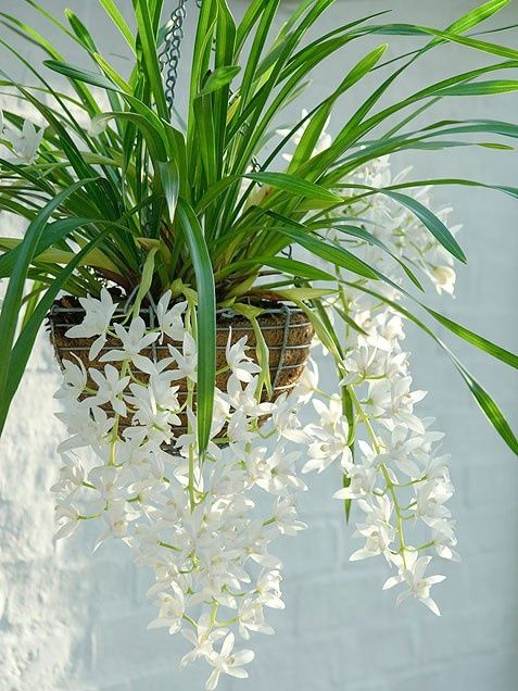 Cymbidium Sarah Jean or 'Ice Cascade'  This hearty plant dispels the idea that orchids are only for skilled gardeners. The cascading white flowers will generally bloom from December to February and will look best in a hanging pot.