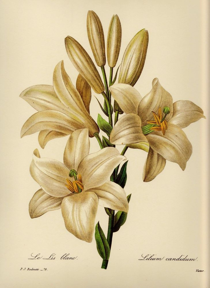 Vintage Redoute Botanical Print White Lily Flower Art Gallery Wall ...