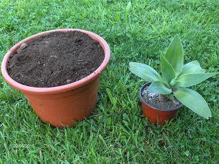 306a10614e03c Cambiar planta de maceta pequeña a maceta más grande