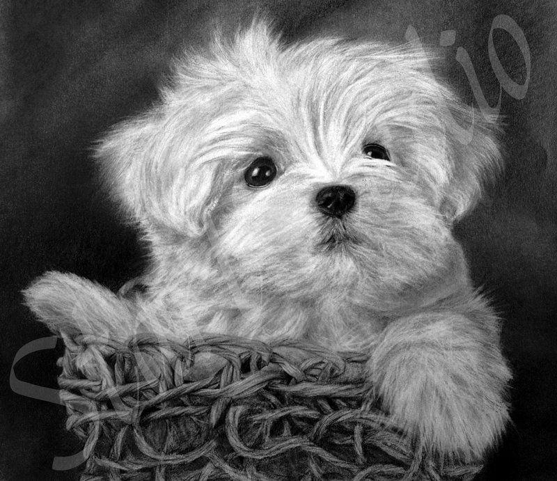 White Maltese Puppy By Jamiepickering Deviantart Com On
