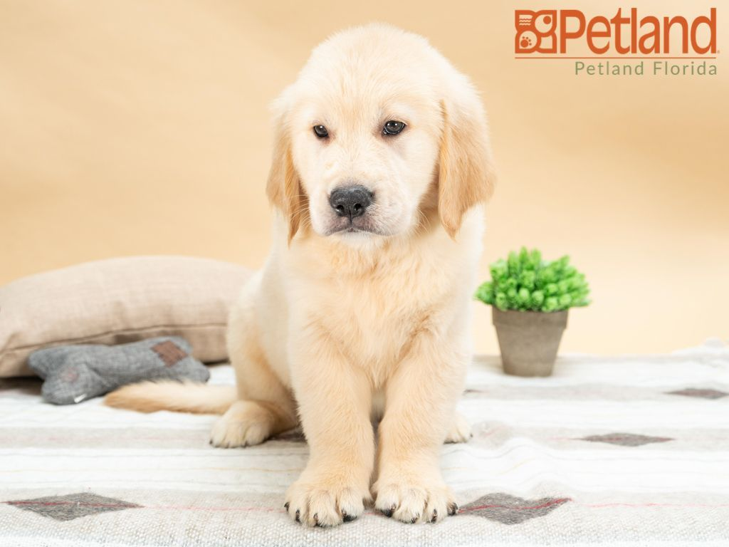 Puppies For Sale Cute Animals Dog Lovers Puppies