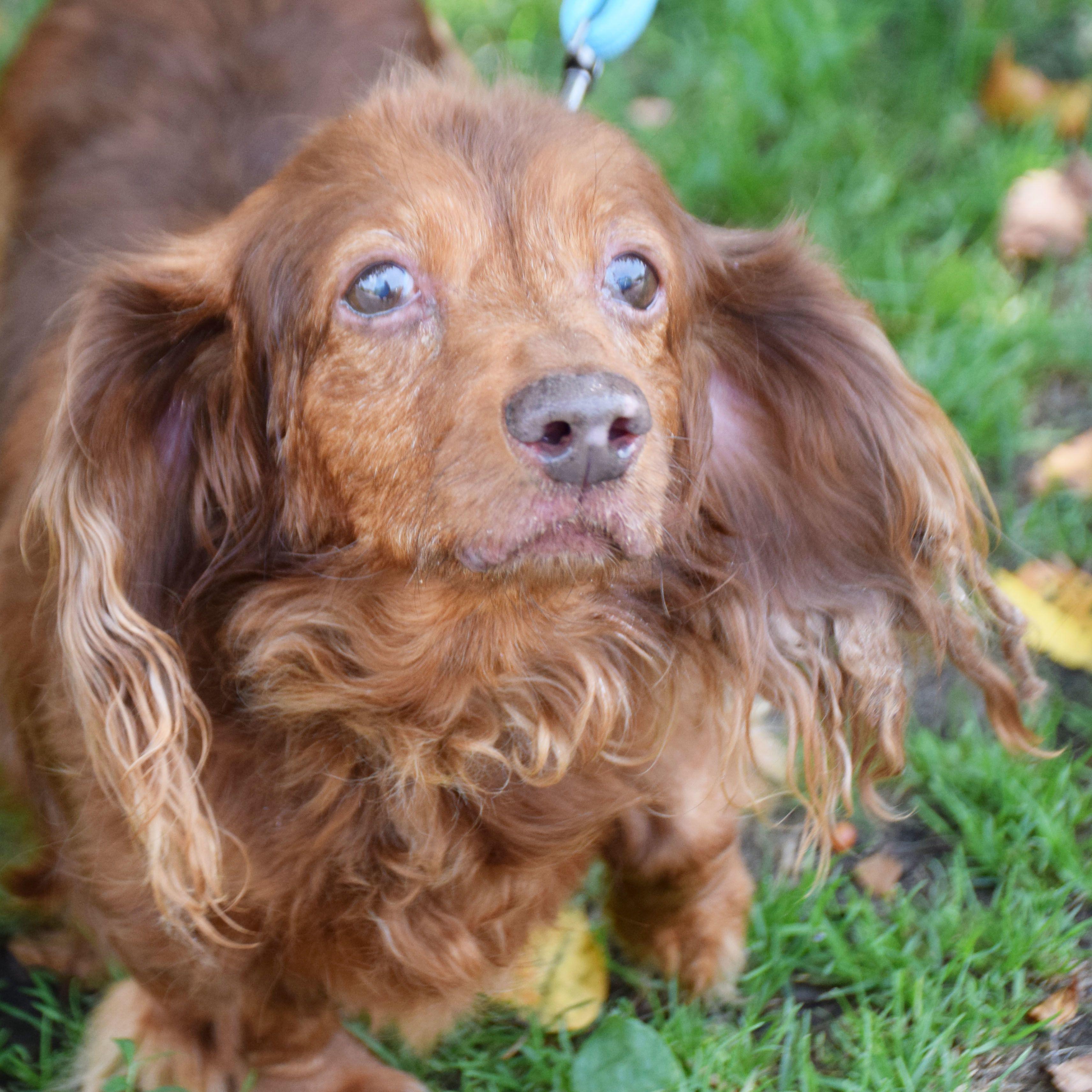 Adopt Dandy on Dachshund adoption, Dachshund, Pets