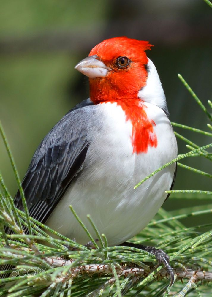 Colorful birds - This is the Red-Crested Cardinal from Hawaii - title Hawaiian Cardinal