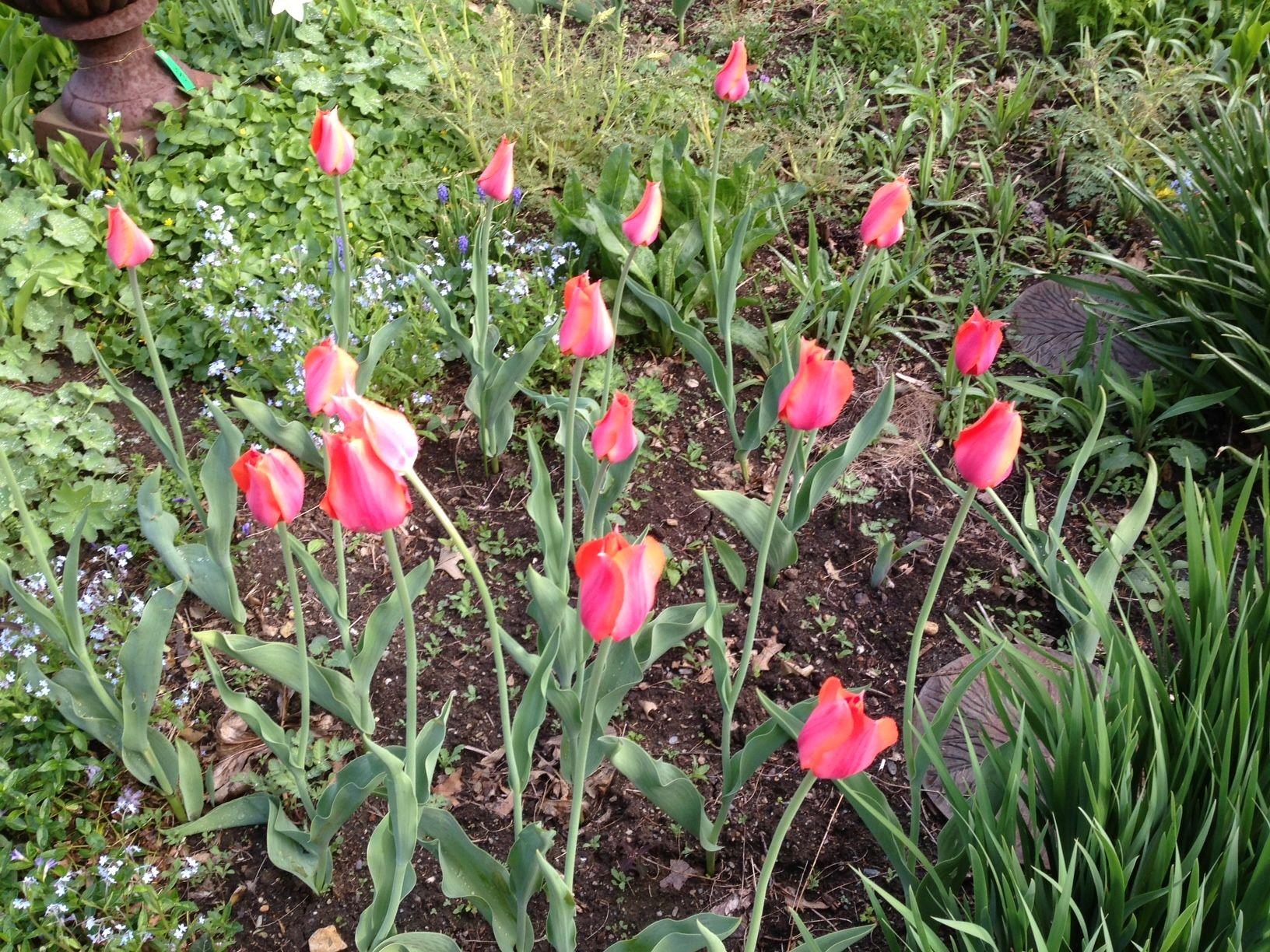 Tulips in the garden at Campo De' Fiori retail store