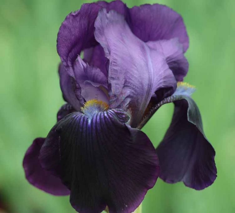 Sable Purple Tall Bearded Flag Iris Kelways Laurel Plant Iris Plants