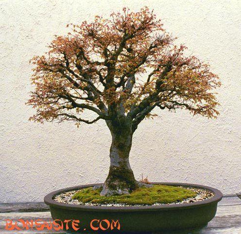 Broom-style bonsai tree
