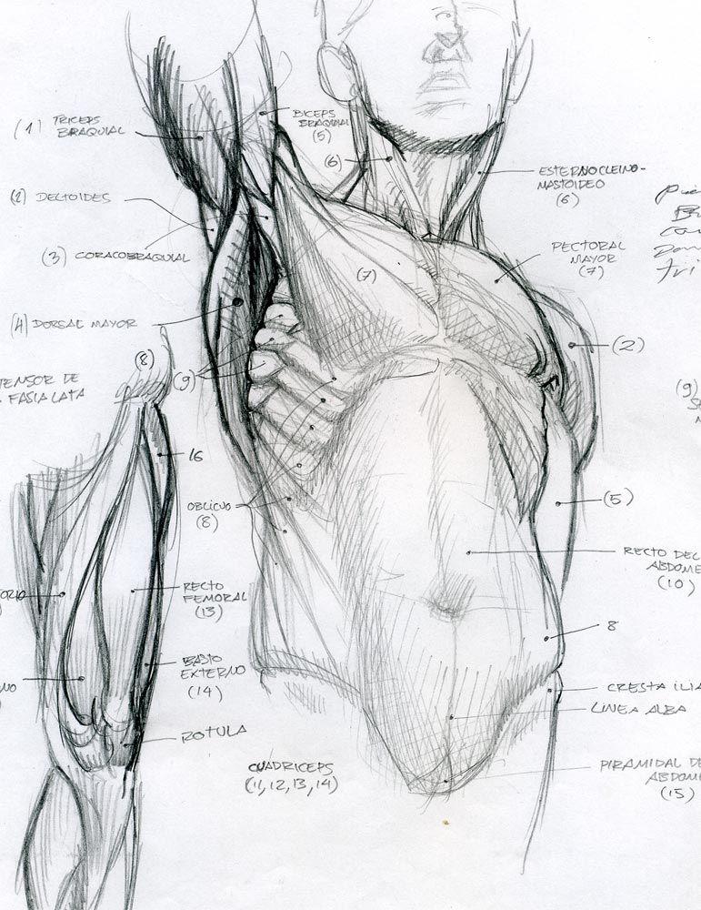 anatomy by Tolomuco on DeviantArt | drawing | Pinterest | Figuren ...