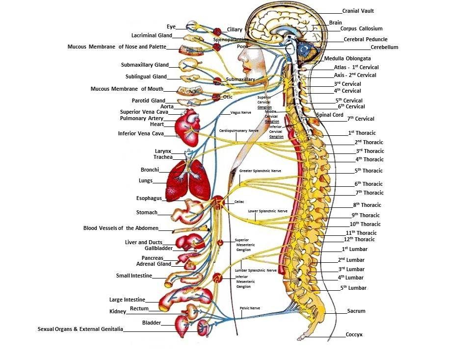 Pin By Erin Spradlin On Sciblr Pinterest Nervous System