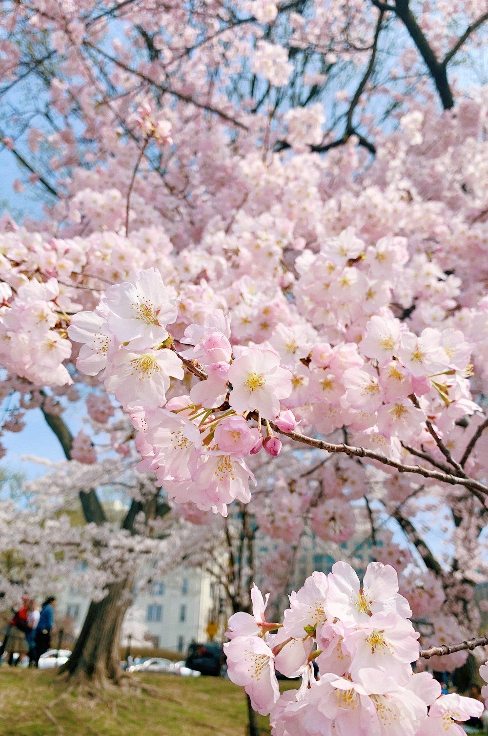 Happy Friday All That Glitters Cherry Blossom Season Spring Blooms Cherry Blossom Festival