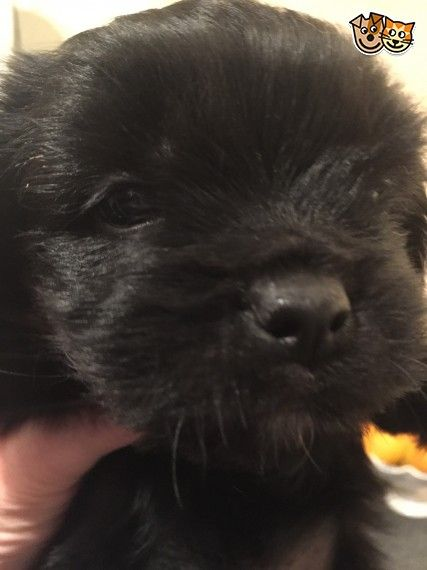 Shih Tzu X Chihuahua Puppies Ready To Leave Now Chihuahua