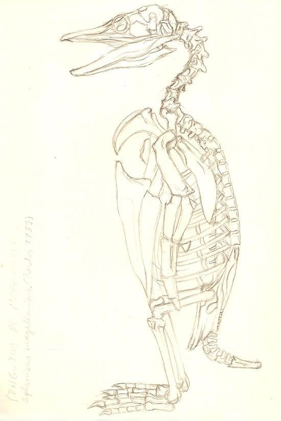 dibujo anatomico pinguino - Buscar con Google