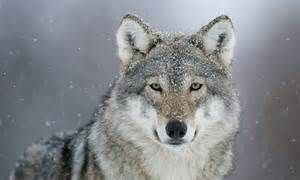 Gray Wolf - Bing images