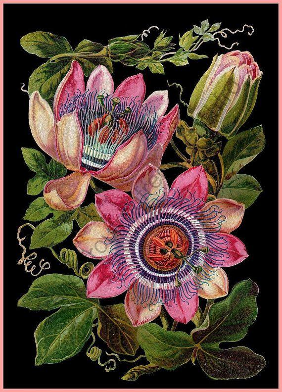 Antique Victorian Botanical Print Passion Flower Illustration Etsy Flower Illustration Flower Drawing Flower Art