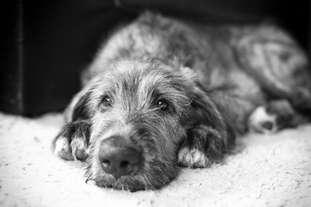 adorable Irish Wolfhound pup...life is beautiful