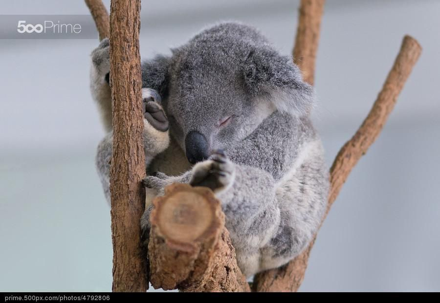 Koala Sleeps! - stock photo
