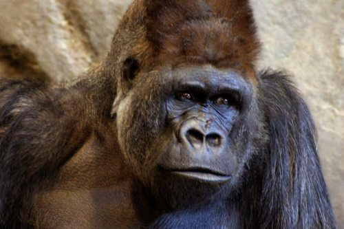 Chaka #0864 (1984-) Male Western Lowland Gorilla. Born on July 22, 1984 at the Philadelphia Zoo. Sire: John #0358 (1967-1995), died at the Philadelphia Zoo in the tragic Christmas Eve fire. Dam: Samantha #0359 (1967-1995), died at the Philadelphia Zoo in the tragic Christmas Eve fire. Chaka has a total of nine offspring, eight living, one deceased.
